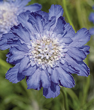 Scabiosa, Fama Deep Blue, , large